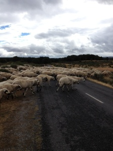 Sheep crossing, no one told me!