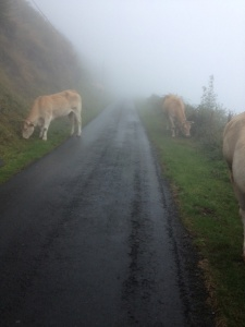 Cows and the mist
